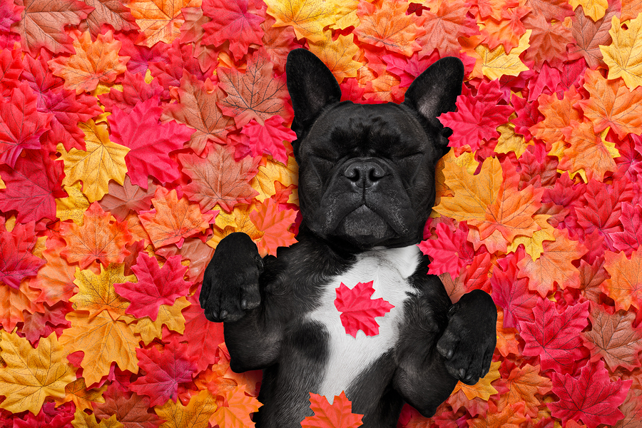 A Guide to the French Bulldog Personality (The Good, The Bad, and the Not-So-Ugly!)