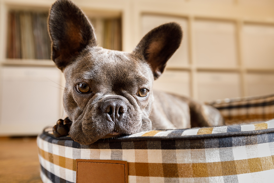 Grey French Bulldog - Dog Resting On Bed At Home