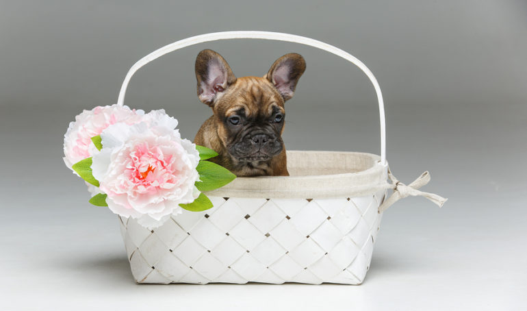 How Much Do Frenchies Cost? Your Guide to French Bulldog Pricing and Costs