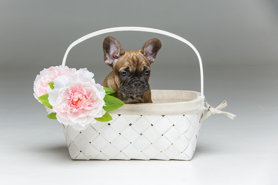 how much does a french bulldog cost how much do frenchies cost your guide to french bulldog 4295