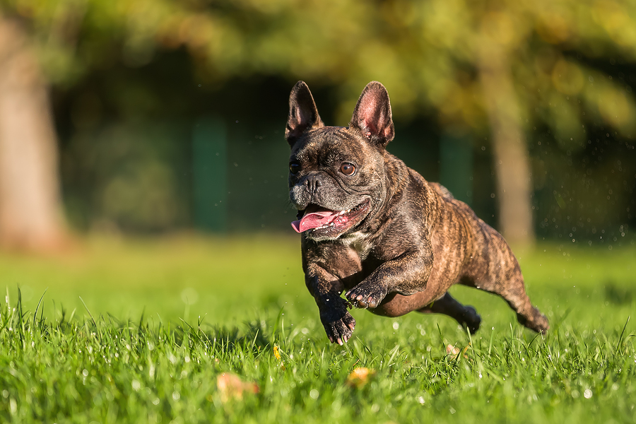 How Much Should Your French Bulldog Exercise?