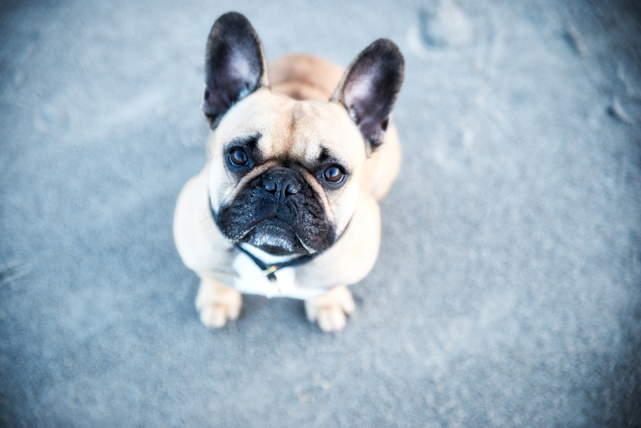 The Most Common French Bulldog Allergies (And How To Treat Them)