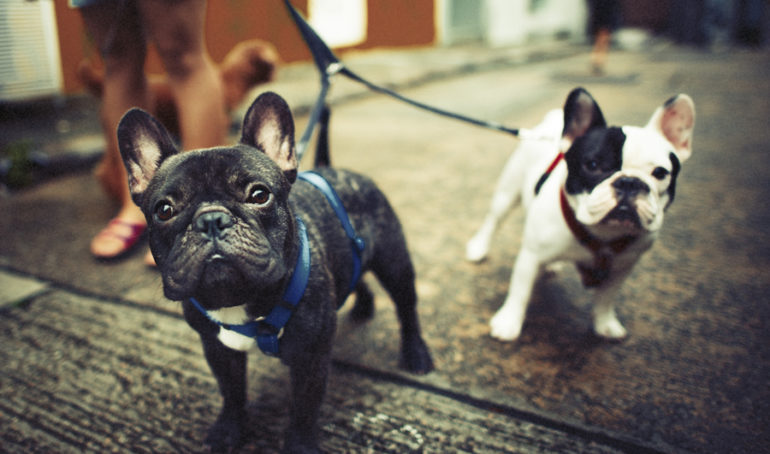 What Are The Different Types of French Bulldogs? (And Which One Is Right For You)