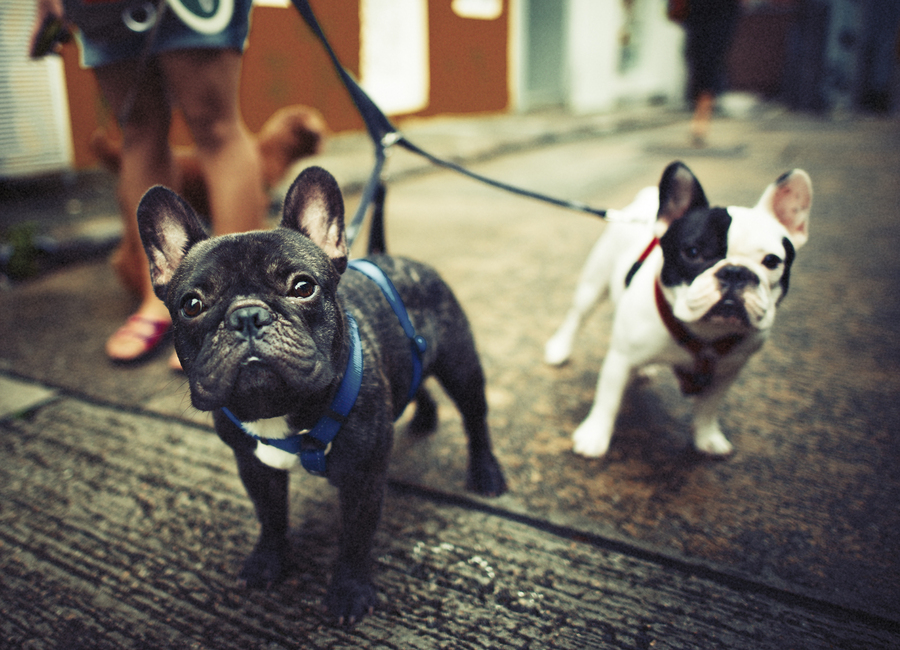 What Are The Different Types Of French Bulldogs