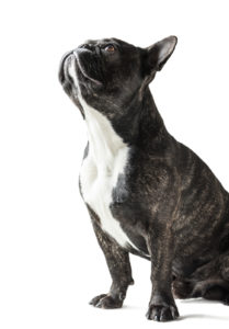 How Much Do Frenchies Cost Your Guide To French Bulldog Cost