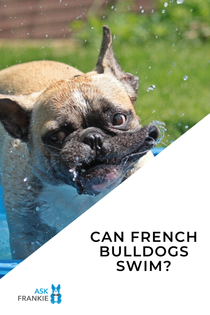 Can French Bulldogs Swim? Your Questions Answered
