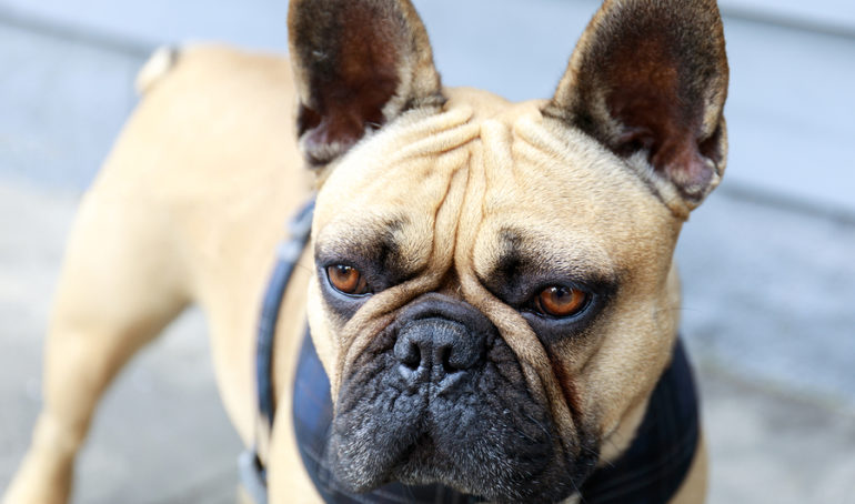 Which Is The Best French Bulldog Harness?