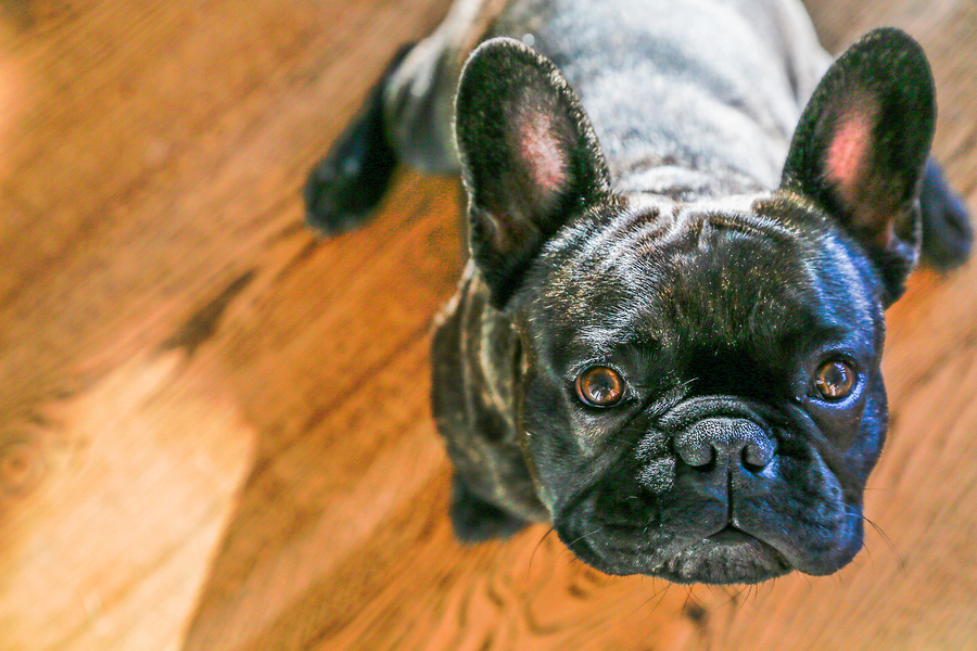 French Bulldog Barking: How Much Do These Dogs Bark? (2020 Update)