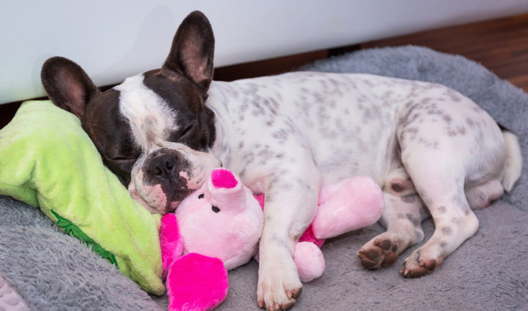 The 8 Best French Bulldog Toys To Keep Your Pup Excited, Happy, and Occupied