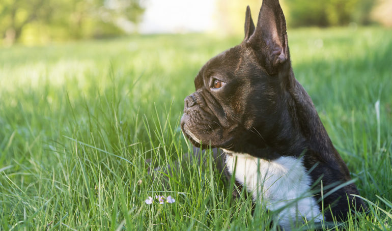 French Bulldog Ears: Your Top 4 Questions Answered (Plus a Few Facts)