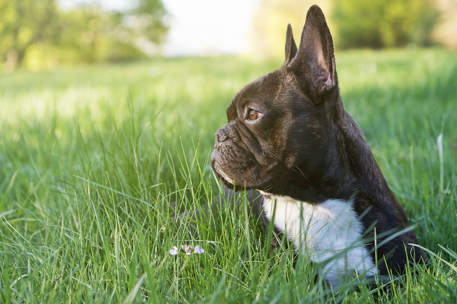 Lucky 7 Bulldogs French Bulldog Ears: Y...