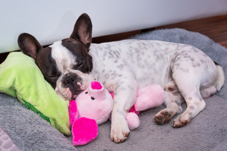 The 9 Best French Bulldog Toys To Keep Your Pup Excited, Happy, and Occupied