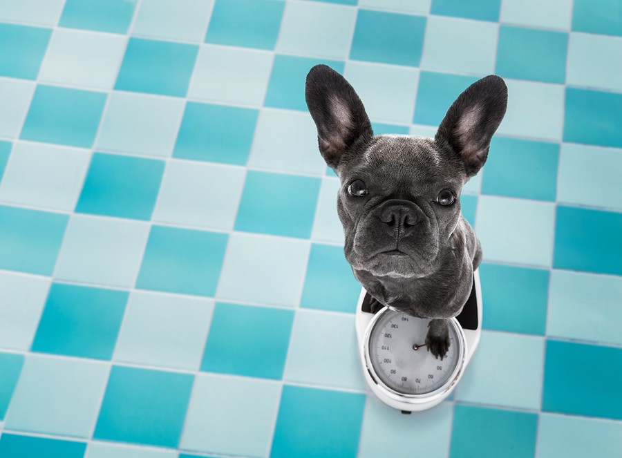 What Is The Ideal French Bulldog Weight?