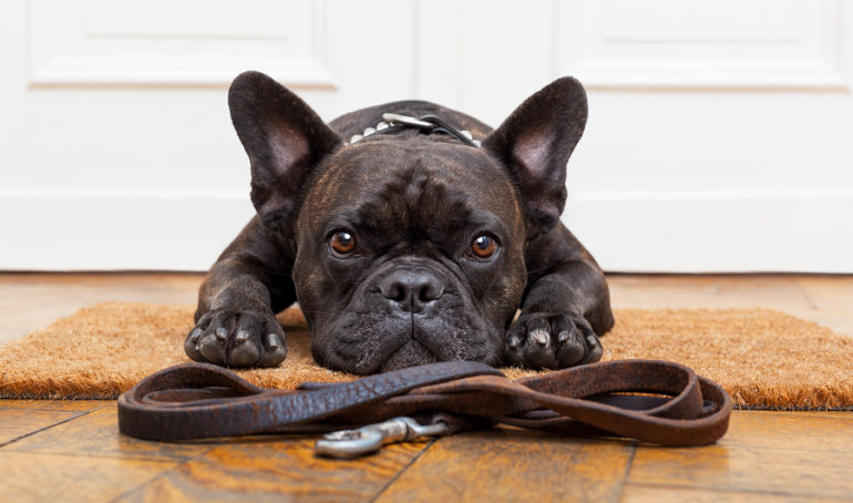 A Guide to French Bulldog Training – Potty, Socialization, and Bonus Tips