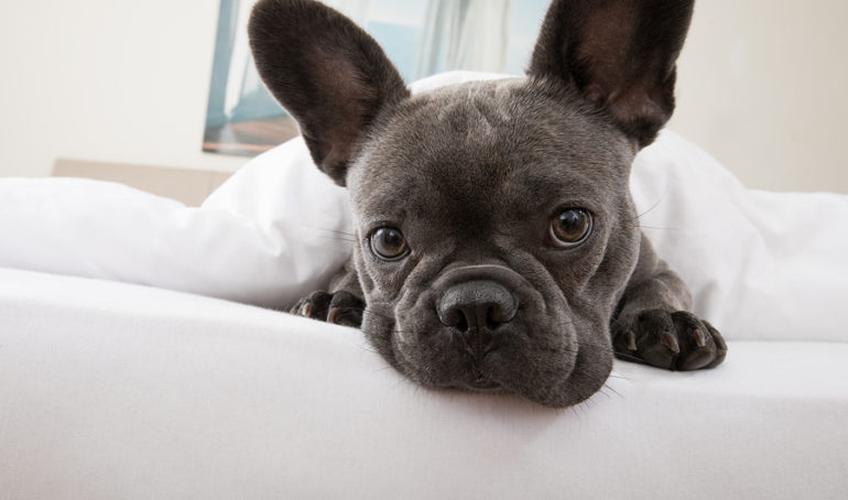 What is French Bulldog Cherry Eye and How Do You Treat It?