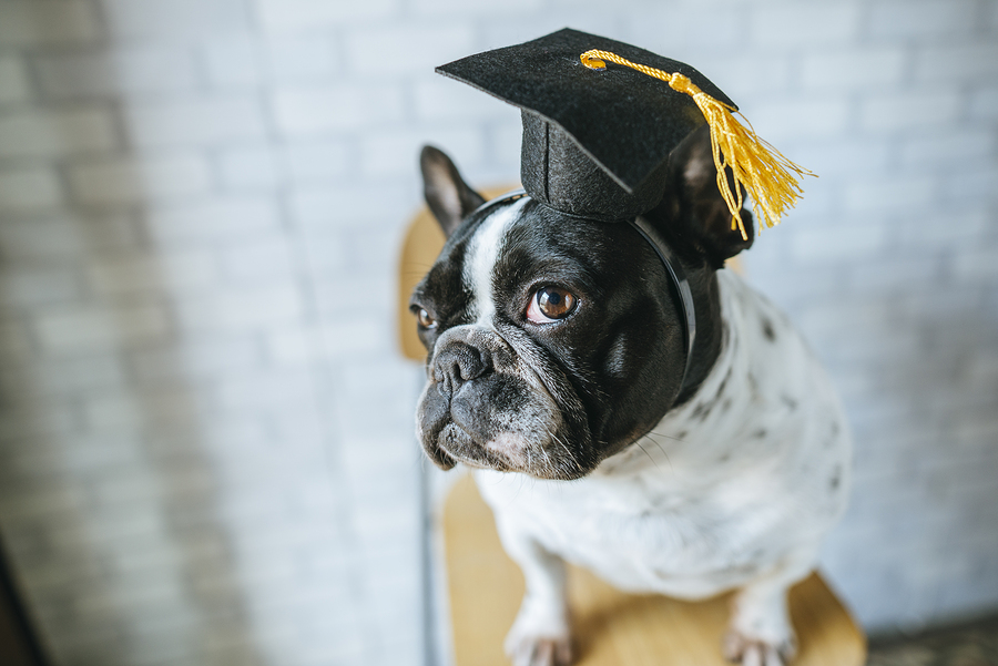 A Guide To French Bulldog Potty Training – Tips and Timing