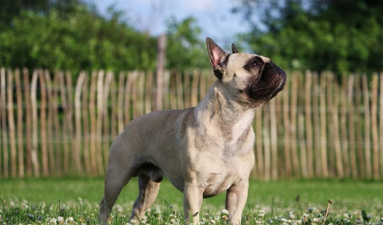 Everything You Need to Know About The French Bulldog Nose