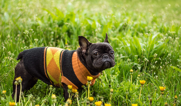 6 French Bulldog Coats To Keep Your Pup Warm and Stylish