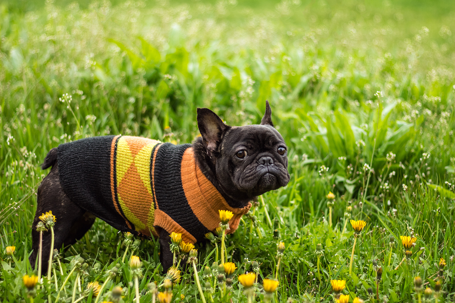 6 French Bulldog Coats To Keep Your Pup