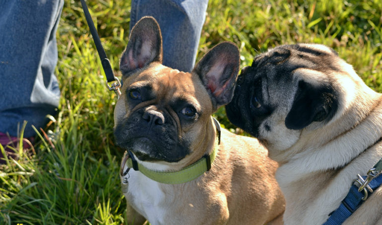 French Bulldogs vs Pugs: Similarities, Differences, and Advice For Owners