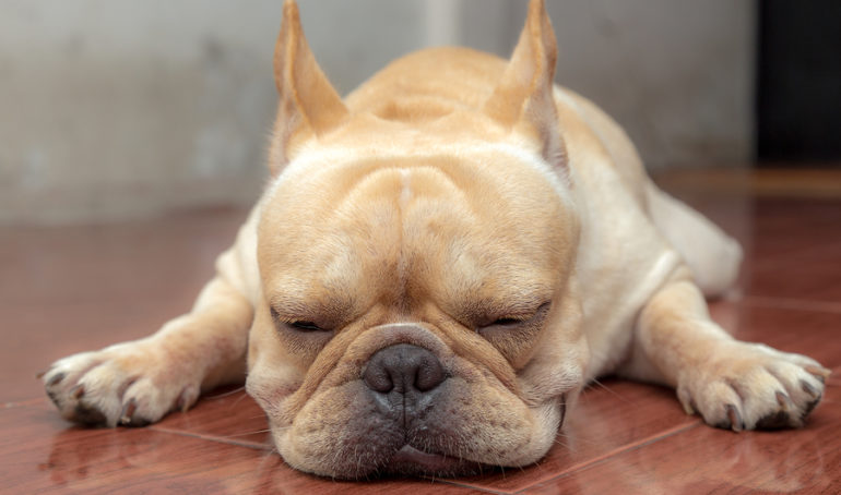 Why Does My French Bulldog Have Diarrhea?