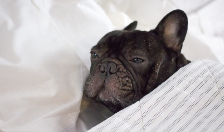 Why Is My French Bulldog Vomiting? Reasons and Solutions