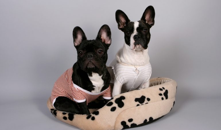 French Bulldogs vs Boston Terriers: Similarities, Differences, and Advice For Owners