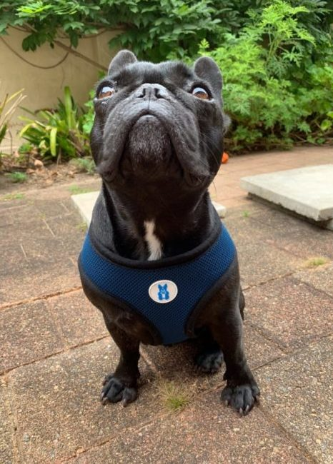 French Bulldog Walking Harness - Frankie 3