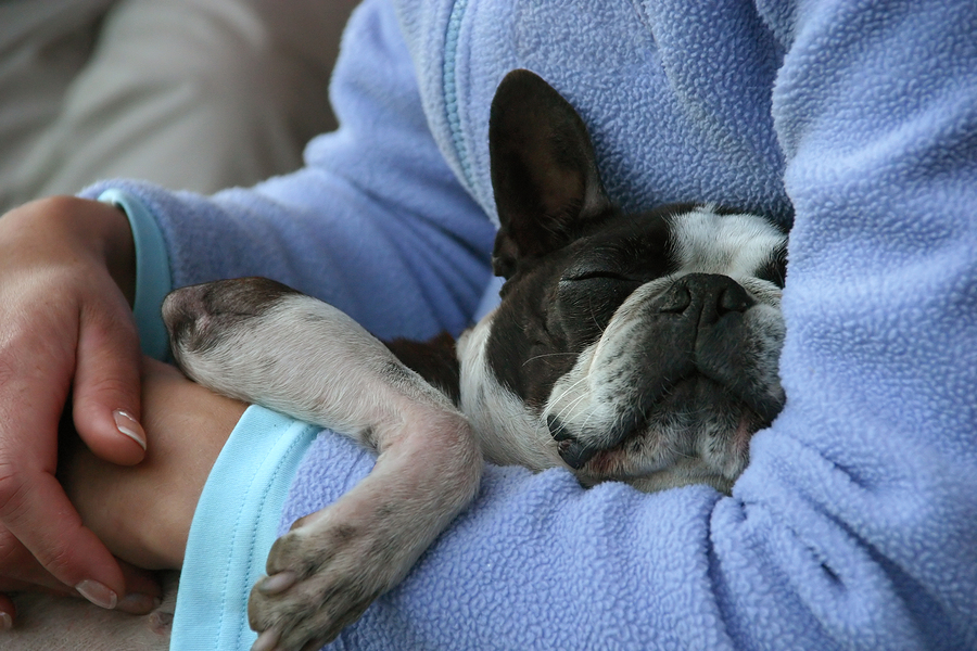 Why Is My French Bulldog Losing Hair? Reasons and Remedies