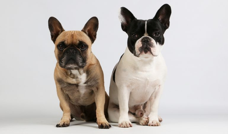 Does the French Bulldog have a lot of issues? Your questions answered