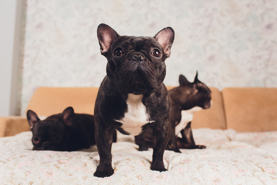 How Big Are French Bulldogs? A Guide to French Bulldog Size