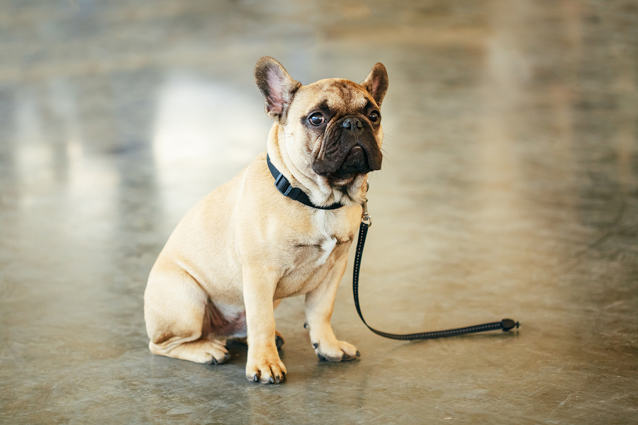 How to Manage French Bulldog Separation Anxiety