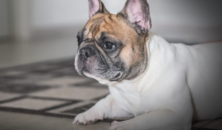 A Guide to French Bulldog Arthritis: Symptoms, Causes, and Maintenance