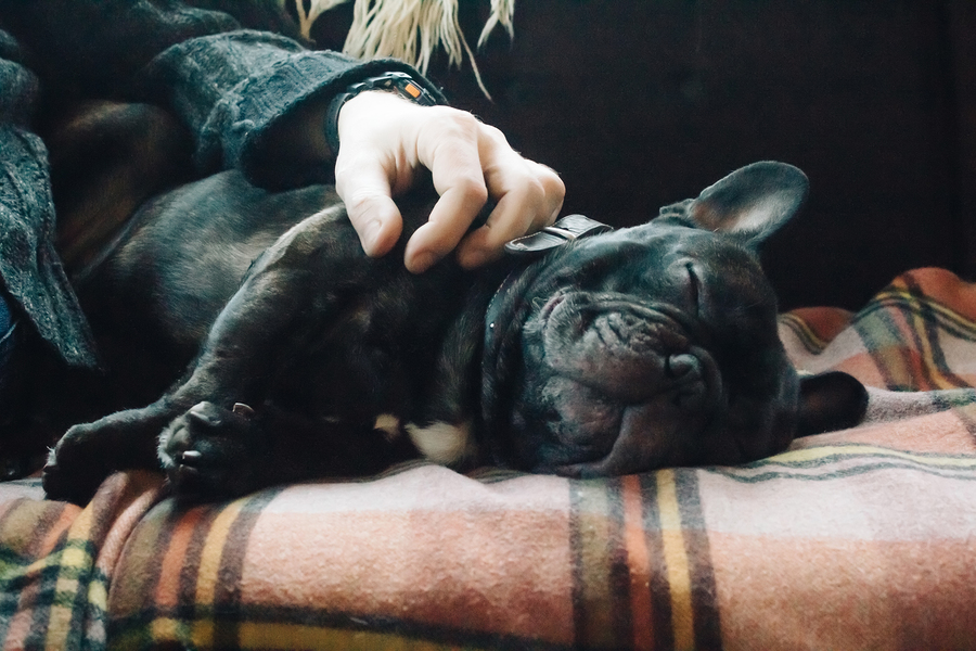 Is the French Bulldog hypoallergenic?