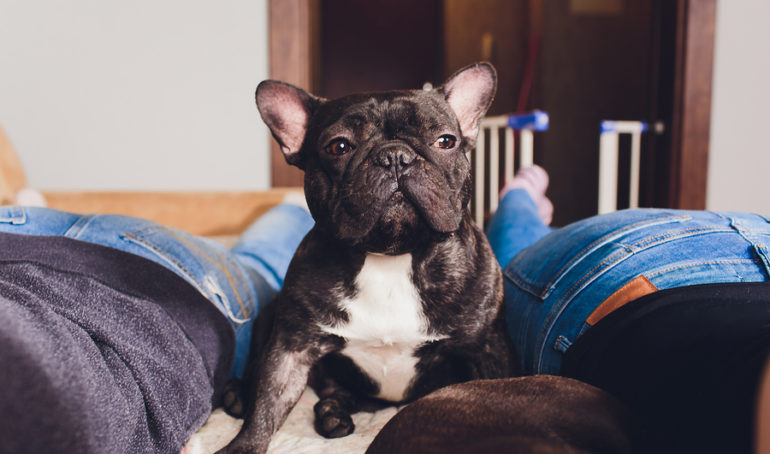 Why Is My French Bulldog Farting? Reasons and Remedies