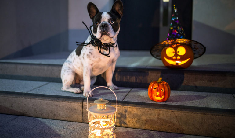 10 Not-So-Spooky French Bulldog Halloween Costumes
