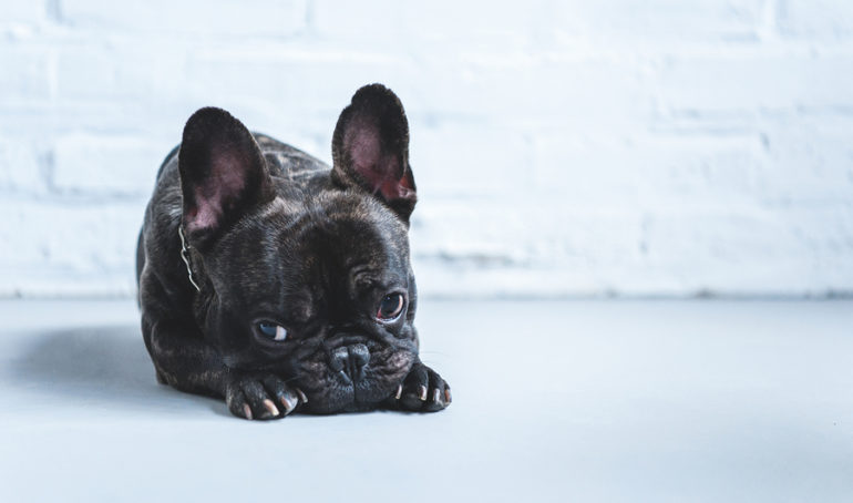French Bulldog Hives: Causes and Treatment Options