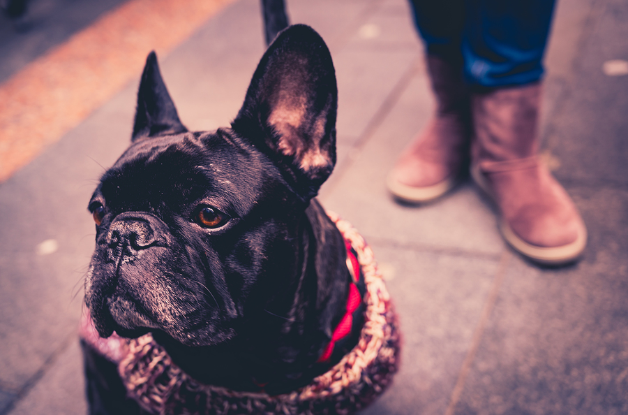What is a French Bulldog Reverse Sneeze?