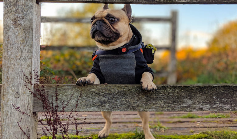 Why Is My French Bulldog Growling? Reasons and Remedies