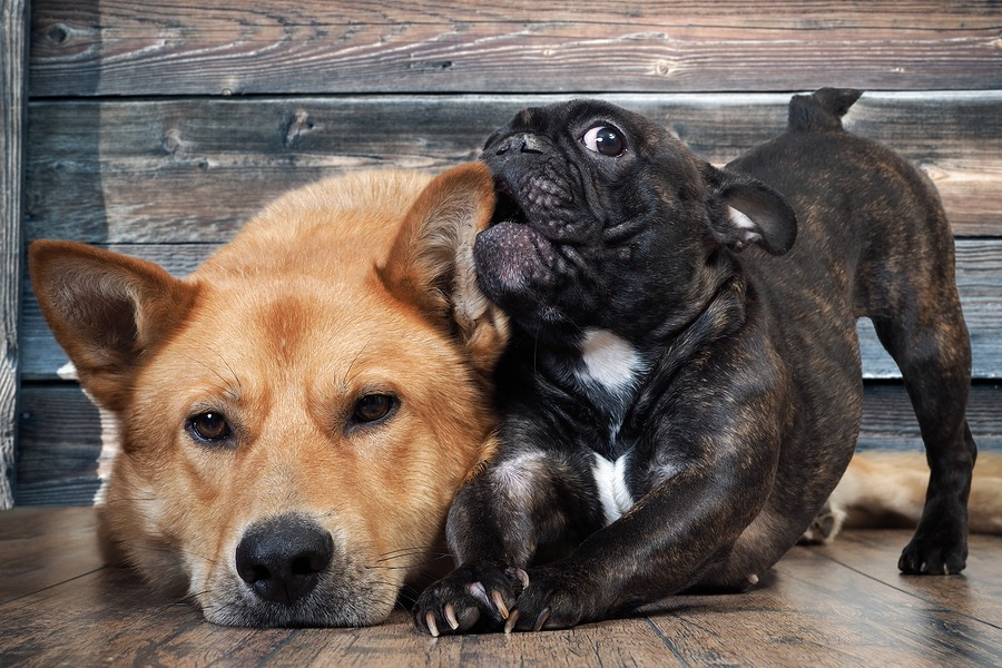 Why Is My French Bulldog Biting? Reasons and Tips