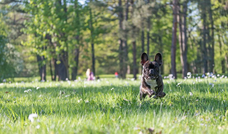 How Agile Is The French Bulldog?