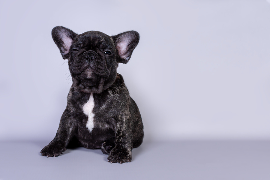 How to Clean Your French Bulldog's Ears