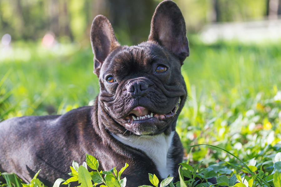 Why Does My French Bulldog Have a Runny Nose? 7 Practical Observations