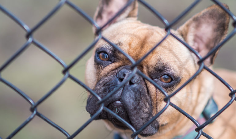 Should You Get a French Bulldog Shelter Dog? One Brand's Charitable Mission
