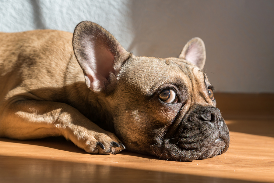 What's The Best French Bulldog Nose Butter? Here Are The Options