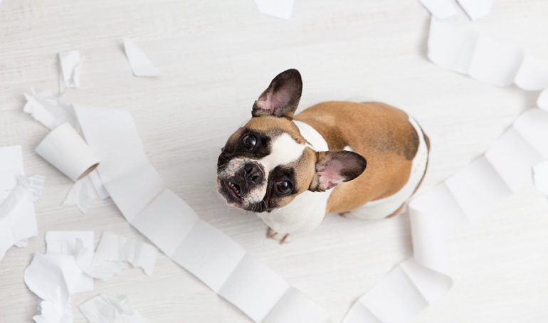 The Most Common French Bulldog Behavior Problems (And How To Fix Them)