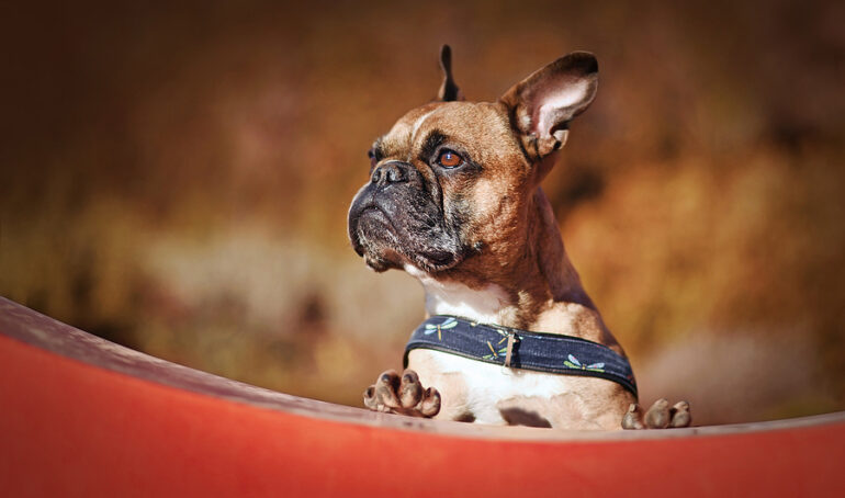 How to Care For French Bulldog Paws